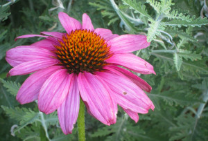 Echinacea 3