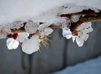Fruit blossoms in snow.jpg