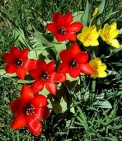 San G spring tulips 2.jpg