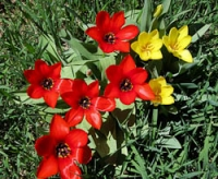 San G tulips yellow & red.jpg