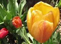 San G tulips yellow.jpg