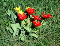 San spring tulips.jpg