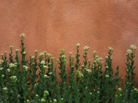 Spring flowers on San G wall.jpg