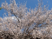 Apricot tree blossoms San G.jpg