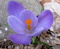 Purple flower San G.jpg