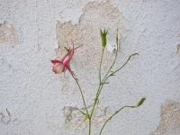 Columbine flowers1.jpg