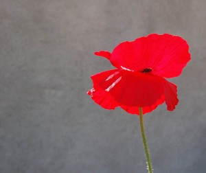 3Red poppy on wall