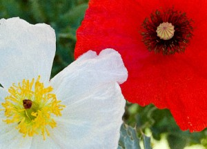 Red & white poppy with grain (1)