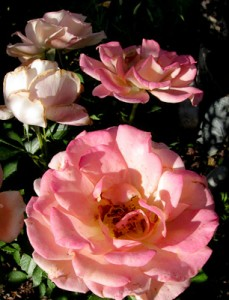 Roses pink in shadow
