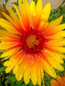 Zia flower 2