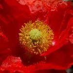 Poppy orange 2