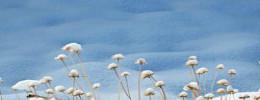 Snowy flower wider 001