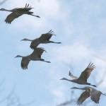 Sandhill cranes flying 4