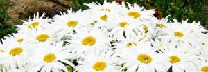 White daisies6