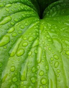 Wet large green leaf