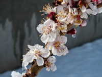 Fruit blossoms in snow 2.jpg