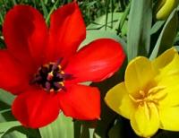 San G spring tulips 3.jpg