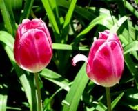 San G spring tulips 5.jpg