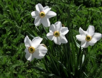 San G tulips 5.jpg