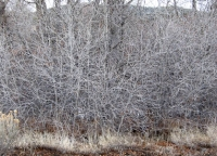 Winter branches in bosque 6.jpg