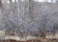 Winter branches in bosque 6.jpg