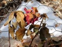 Winter rose in garden basket.jpg