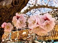 Apricot blossoms San G.jpg