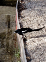 Magpie on acequia.jpg