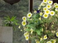 Columbine flowers9.jpg