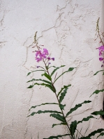Columbine flowers11.jpg