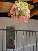 Columbine flowers16.jpg